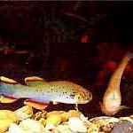 Аквариумные рыбы Афиоземион гарднера