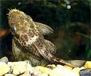 Аквариумная рыба Анцитрус звездчатый