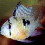 Аквариумные рыбы Апистограмма альтиспиноза
