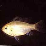Аквариумные рыбы Апистограмма ремиреза
