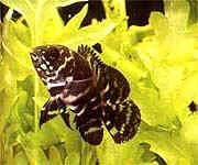 Аквариумные рыбы Астронотус