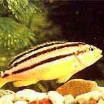 Аквариумные рыбы Ауратус