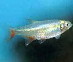 Аквариумные рыбы Афиохаракс альбурнус