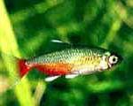 Аквариумные рыбы Афиохаракс рубиновый