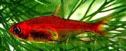 Аквариумные рыбы Аманда