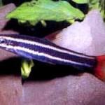 Аквариумные рыбы Аностомус обыкновенный