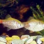 Аквариумные рыбы Барбус алый