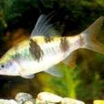 Аквариумные рыбы Барбус арулиус