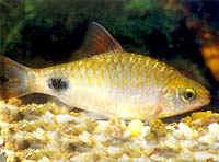 Аквариумные рыбы Барбус филаментоза