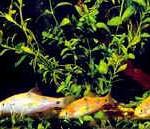 Аквариумные рыбы Барбус клоун
