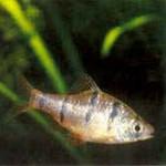 Аквариумные рыбы Барбус пятиполосый
