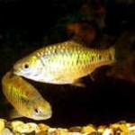 Аквариумные рыбы Барбус зеленый
