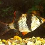 Аквариумные рыбы Барбус суматранский (мутант)