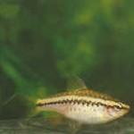 Аквариумные рыбы Барбус вишневый