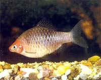 Аквариумные рыбы Барбус черный