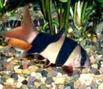 Аквариумные рыбы Боция клоун