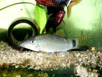 Аквариумные рыбы Боция леконта
