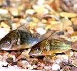 Аквариумные рыбы Брохис зеленый