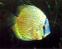 Аквариумные рыбы Дискус