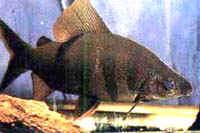 Аквариумные рыбы Дистиходус носатый