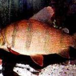 Аквариумные рыбы Дистиходус шестиполосый