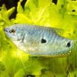 Аквариумные рыбы Гурами мраморный