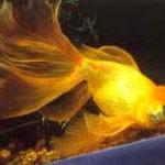 Аквариумные рыбы Вуалехвост (золотая рыбка)