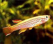 Аквариумные рыбы Афиоземион стриатум