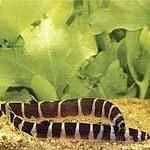 Аквариумные рыбы Акантофальмус