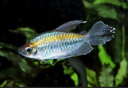Аквариумные рыбы Конго