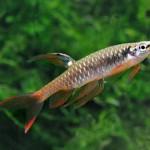 Аквариумные рыбы Копелла