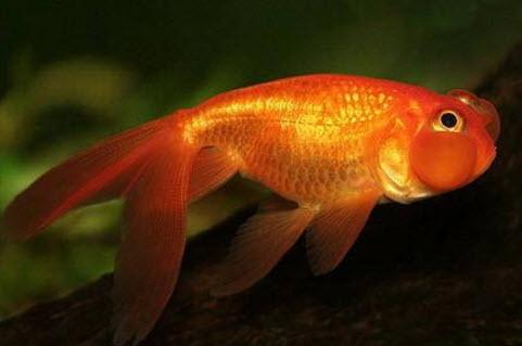 Аквариумные рыбы Звездочет