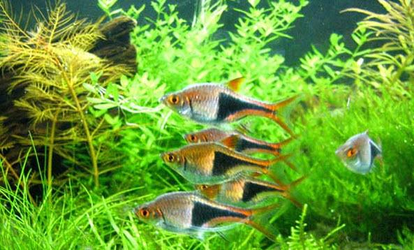 Аквариумные рыбы Расбора Клинопятнистая