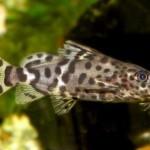 Аквариумные рыбы Синодонтис вуалевый