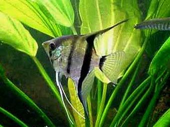 Аквариумные рыбы Скалярия