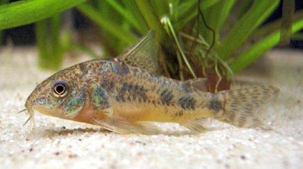 Аквариумные рыбы Сомик крапчатый