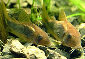 Аквариумные рыбы Сомик золотистый