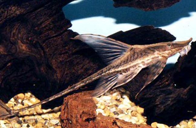 Аквариумные рыбы Стуризома панамская
