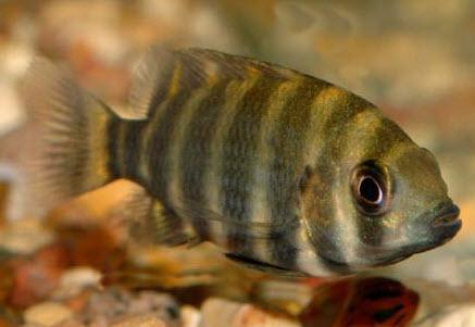 Аквариумные рыбы Тиляпия зебровая