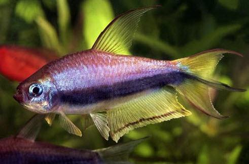 Аквариумные рыбы Тетра королевская
