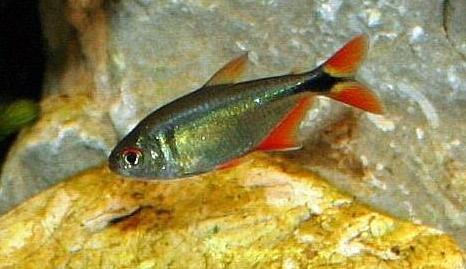 Аквариумные рыбы Тетра плотвичка