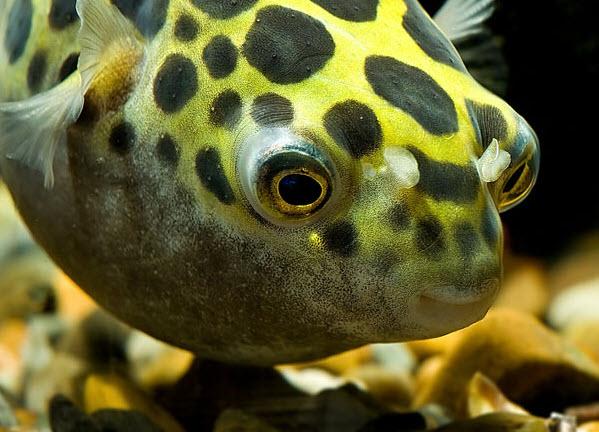 Аквариумные рыбы Тетраодон