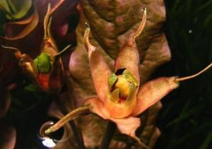 foto Выращивание барклайи длиннолистной