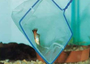 Ловля аквариумных рыб