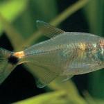Аквариумная рыбка фонарик