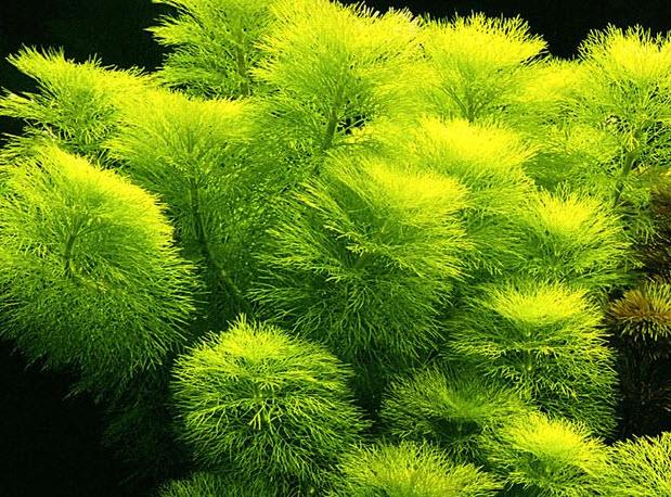 Аквариумное растение лимнофила водяная (королевская амбулия)