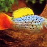 Содержание и разведение аквариумных рыбок пецилия