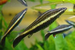 Содержание и разведение аквариумных рыбок пецилобрикон обыкновенный