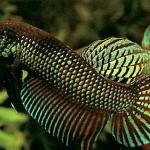 Содержание и разведение аквариумных рыбок петушок смарагдовый