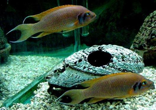 Содержание и разведение аквариумных рыбок Принцесса бурунди